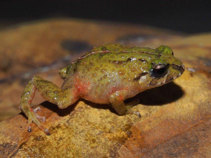Pristimantis tiktik es una nueva especie de anfibio descubierta en Ecuador