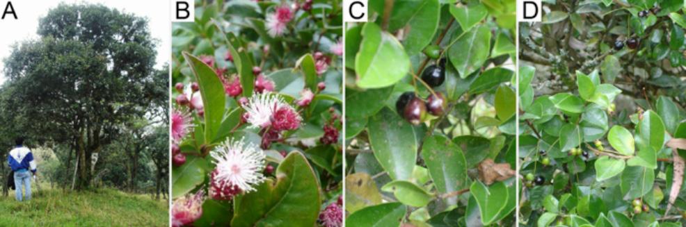 Imagenes del arrayan aromatico