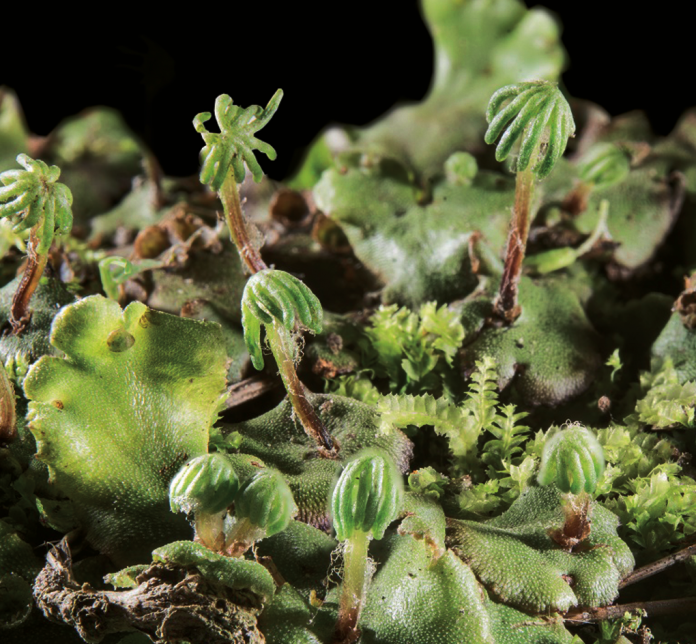 briofitos
